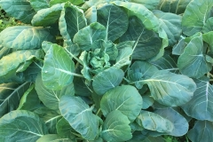 Cabbage growing well for spring picking
