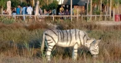 Anger: They painted donkeys to look like zebras – For a safari wedding party [in Spain]