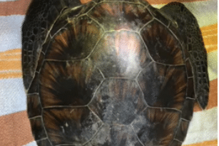 The Young Green Sea Turtle  Rescue Story
