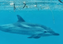 Swimming with Dolphins at Petani (yesterday)