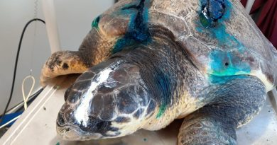 Archelon looking for support for Ares the Injured Sea Turtle