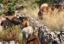 The Wild Horses of Ainos on a trip to Pastra Today