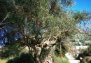Calling citizens and entities to provide information to the management of the National Park of Ainos with the aim of finding perennial olive trees and olive groves in Kefalonia & Ithaca.