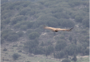 First recorded sighting of Griffon Vulture in Kefalonia after many years by the Management / Supervisory staff of Ainos