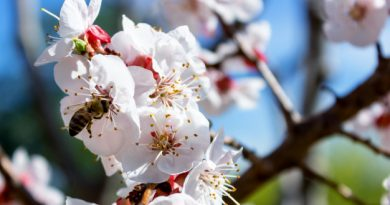 The message of a flowering almond tree