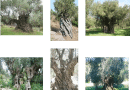"""The project """"BIOMNIMES"""" and the Centennial Olive groves and Olive Trees in the Ionian"""
