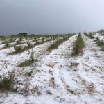 Today's hail storm has sadly destroyed much of the islands vines this season